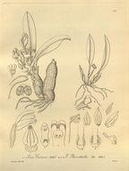 Image of Ceratostylis