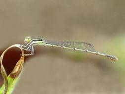 Image of Splendid Dartlet