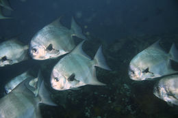 Image of Pacific Spadefish