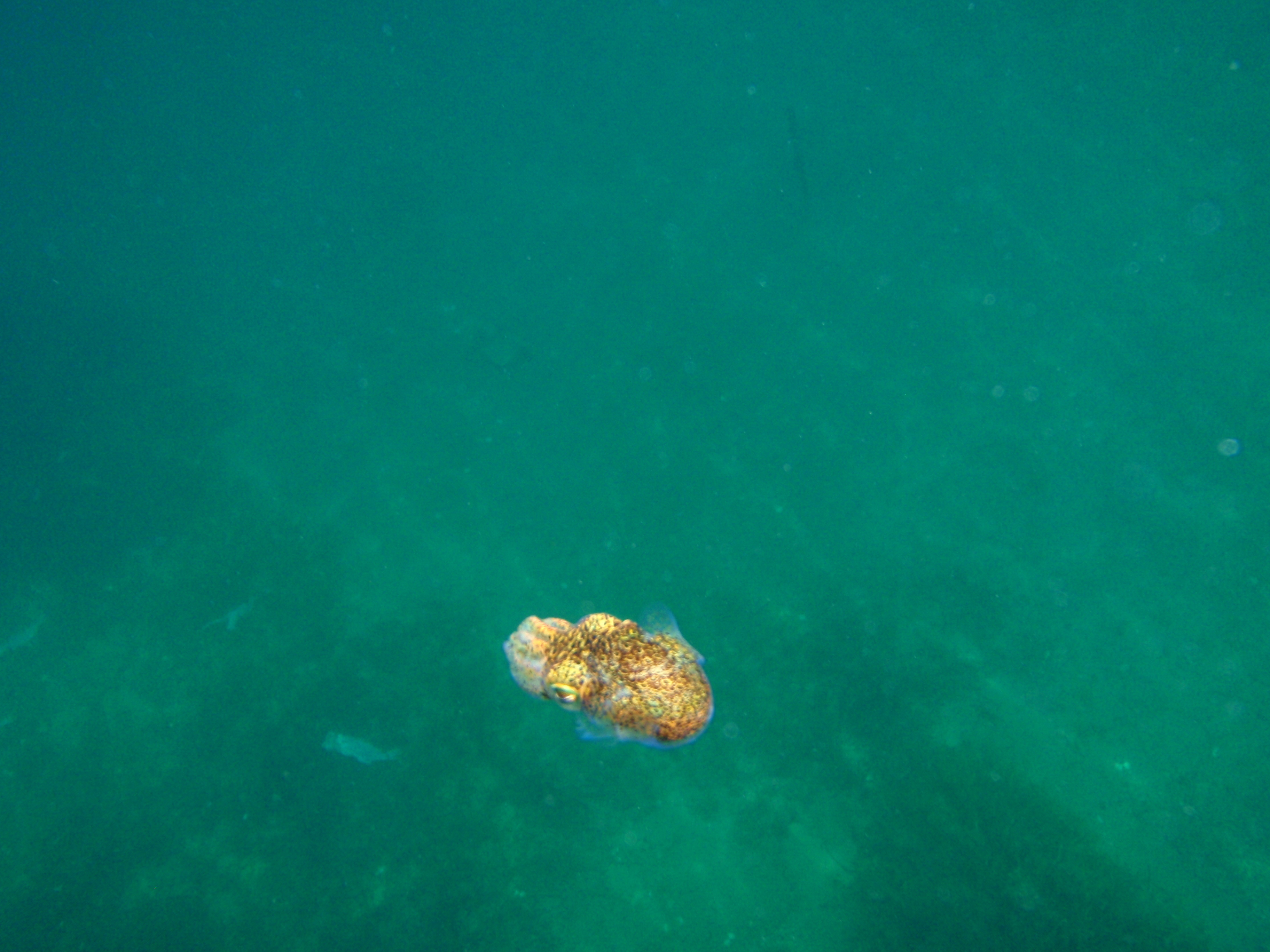 Image of Southern Bobtail Squid