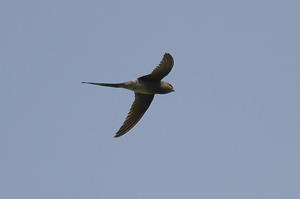 Image of Crested Treeswift
