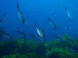 Image of Kingfish