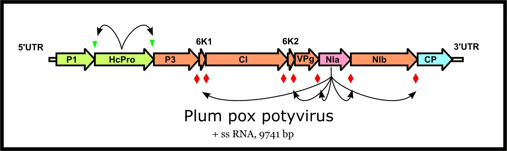 Image of Plum pox virus