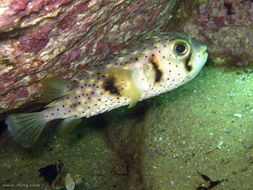 Image of Three-bar porcupinefish