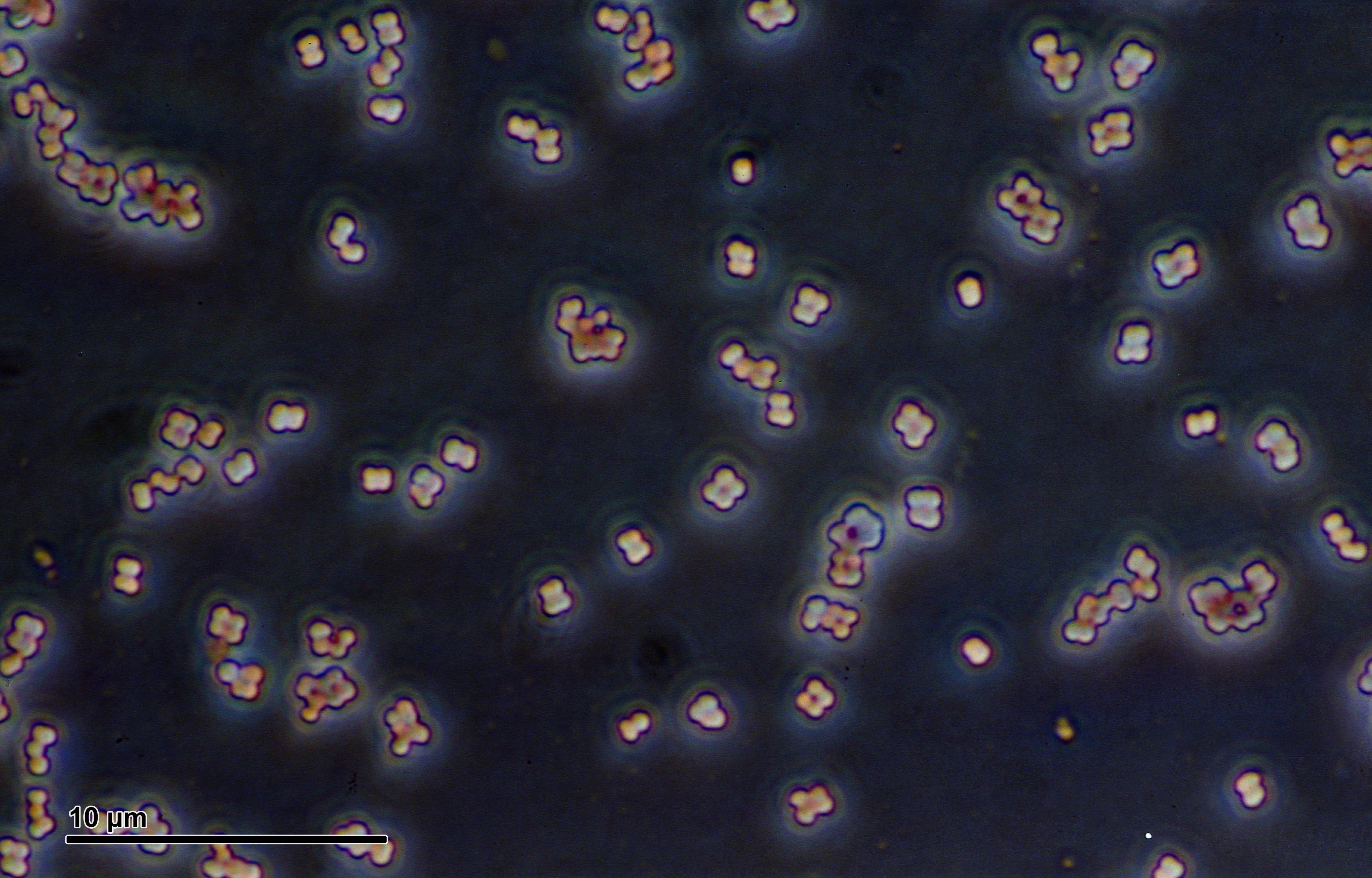 Image of <i>Micrococcus luteus</i>