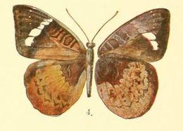 Image of <i>Euriphene mawamba</i> Bethune-Baker