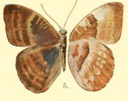 Image of <i>Euriphene butleri</i> Aurivillius 1904