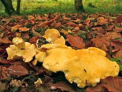Image of Hedgehog Mushroom