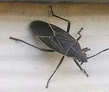 Image of Western Boxelder Bug