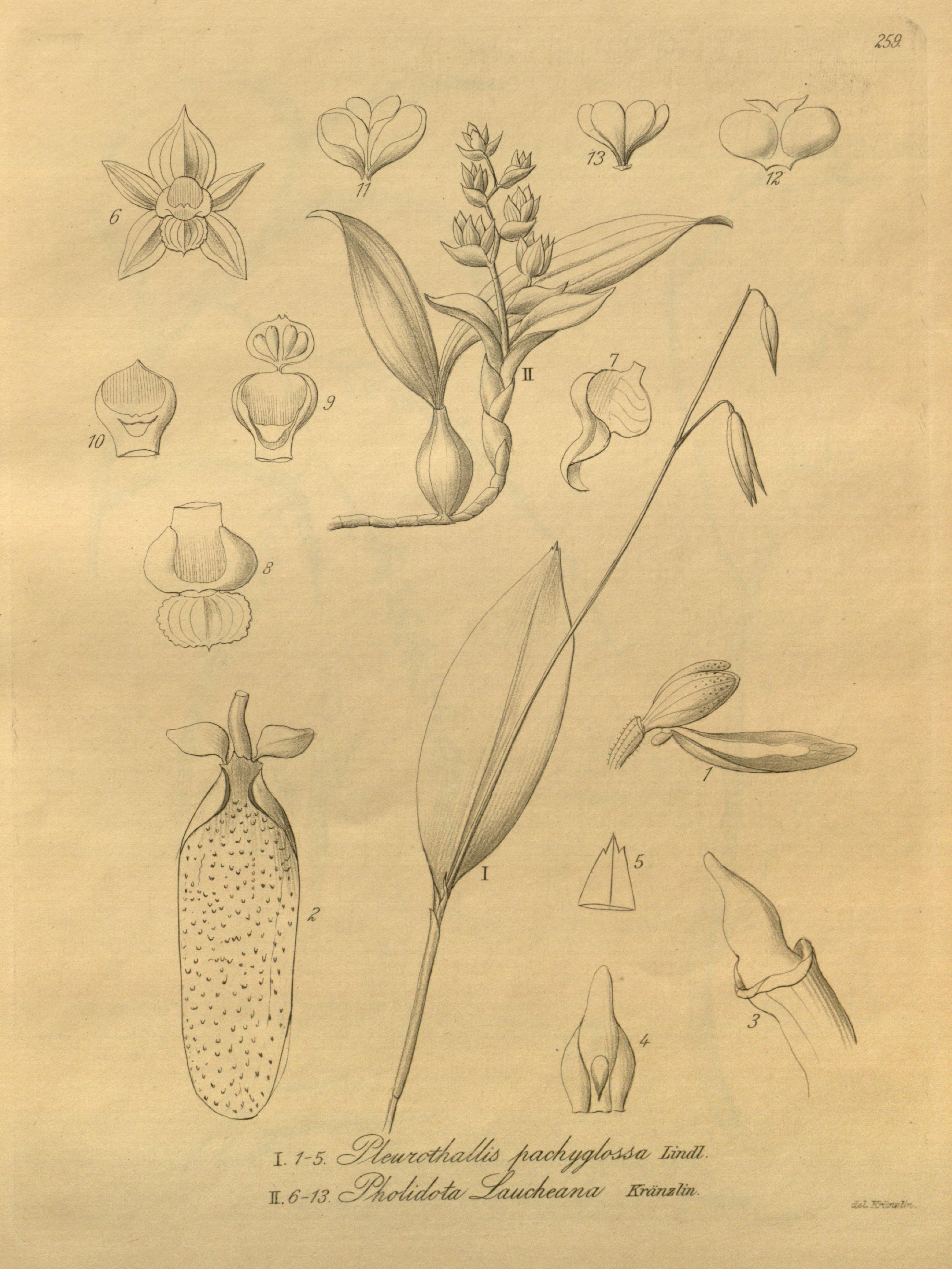 Image of Pholidota