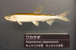 Image of <i>Hypomesus nipponensis</i> Mc Allister 1963