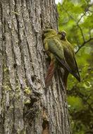 Image of Austral Parakeet