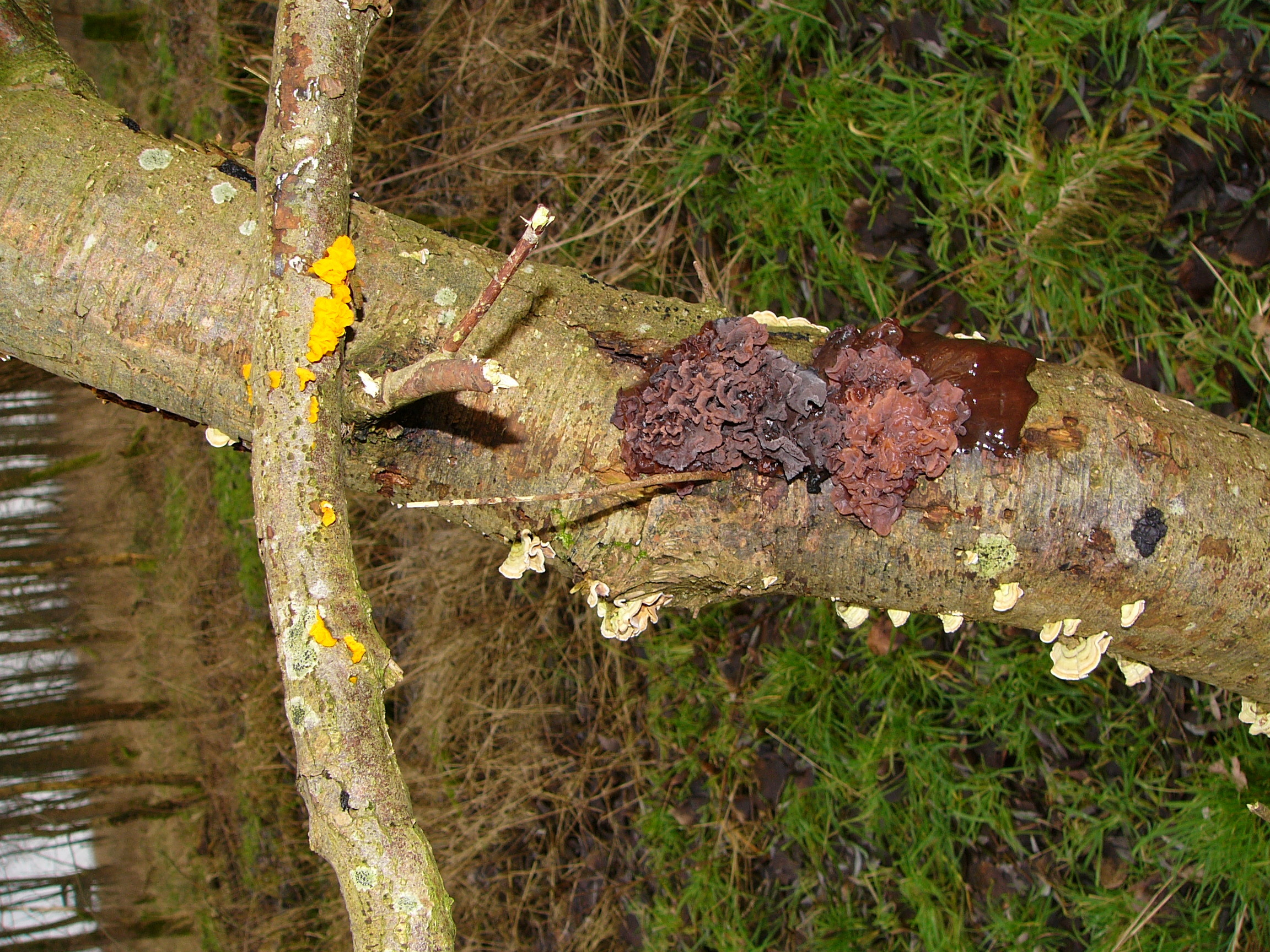 Image of Jelly Fungus