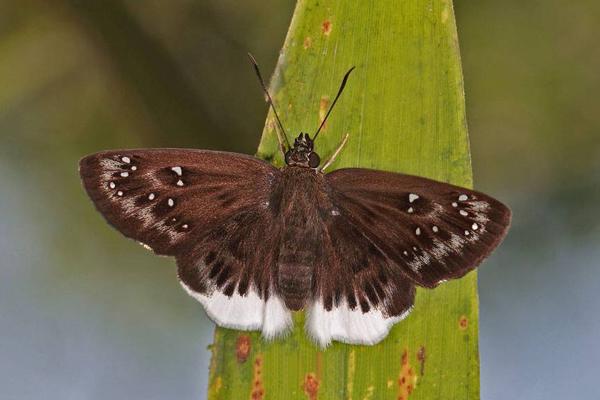 Image of <i>Darpa pteria</i>