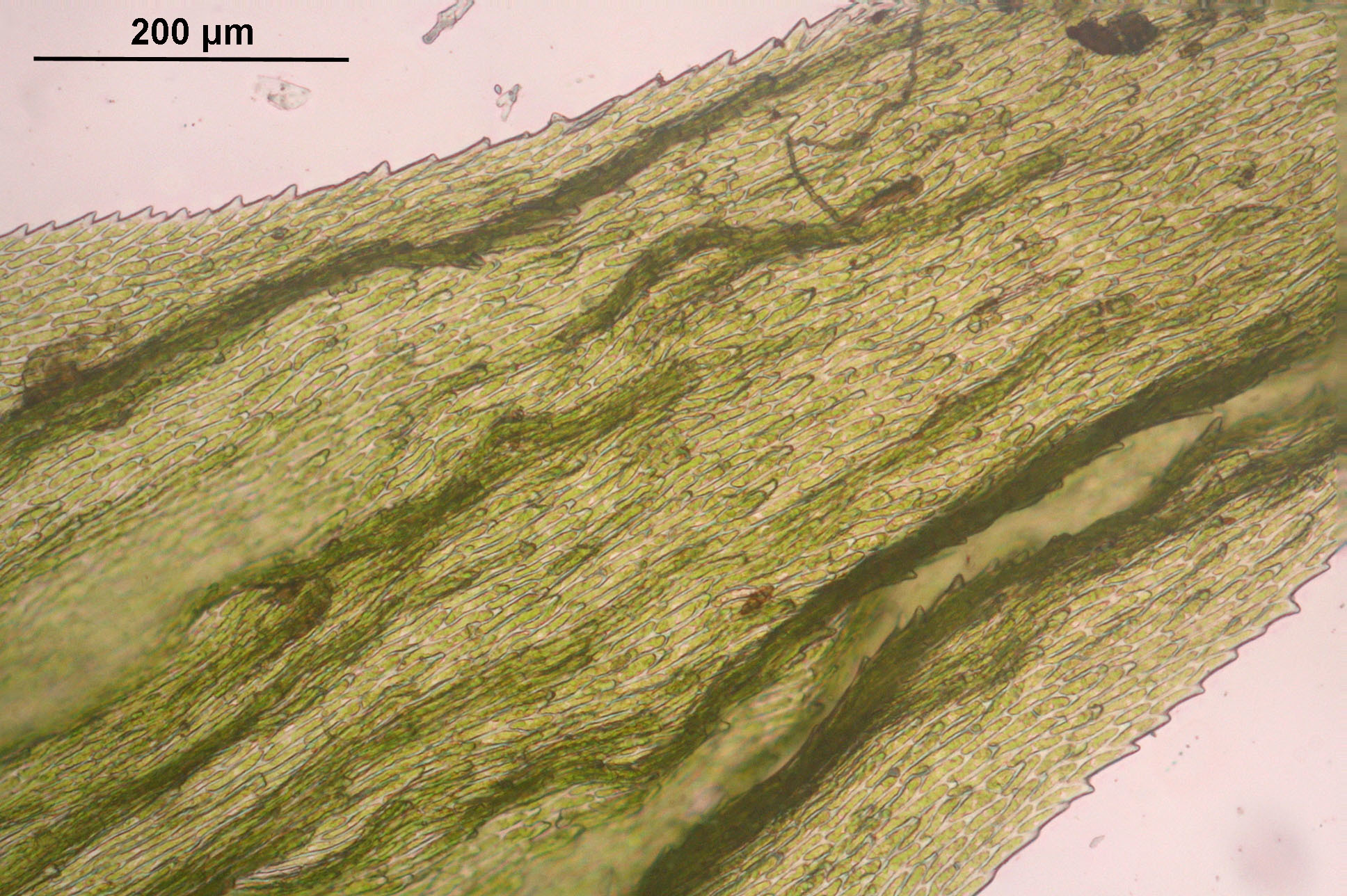 Image of Electrified Cat's Tail Moss