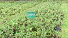 Image of <i>Polylepis racemosa</i> Ruiz & Pav.