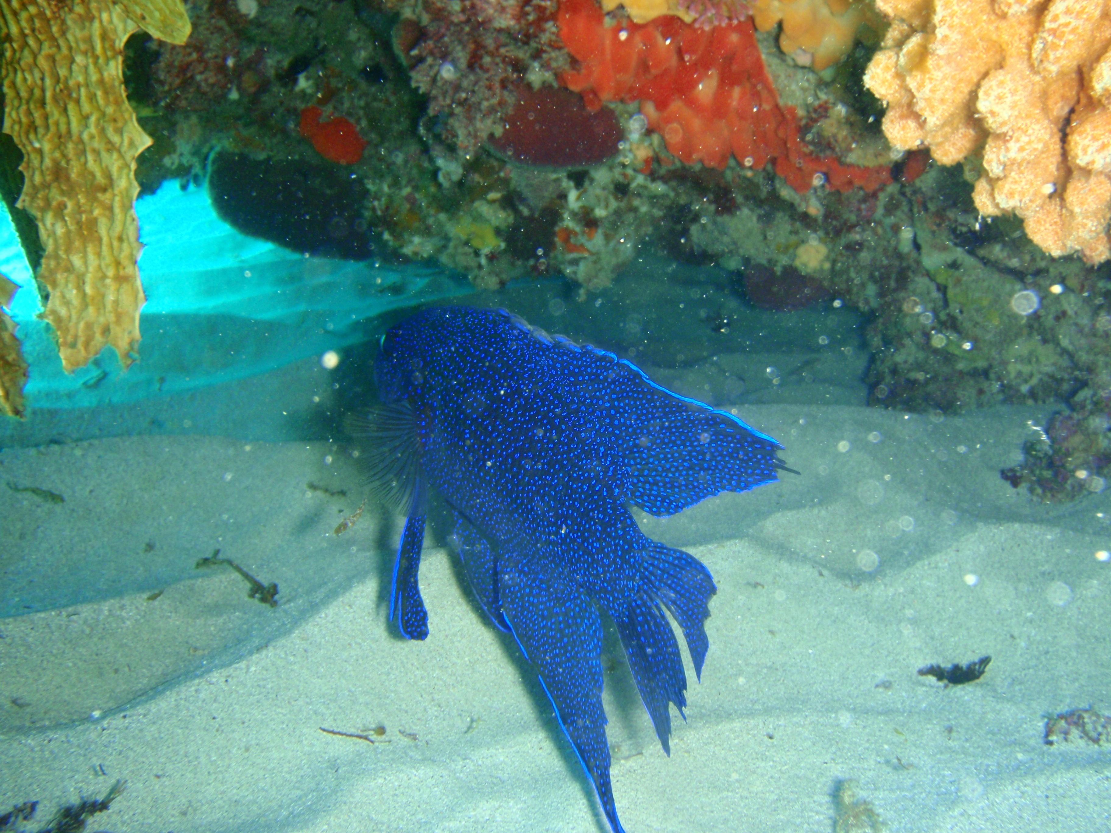 Image of Blue devil