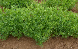 Image of lentil