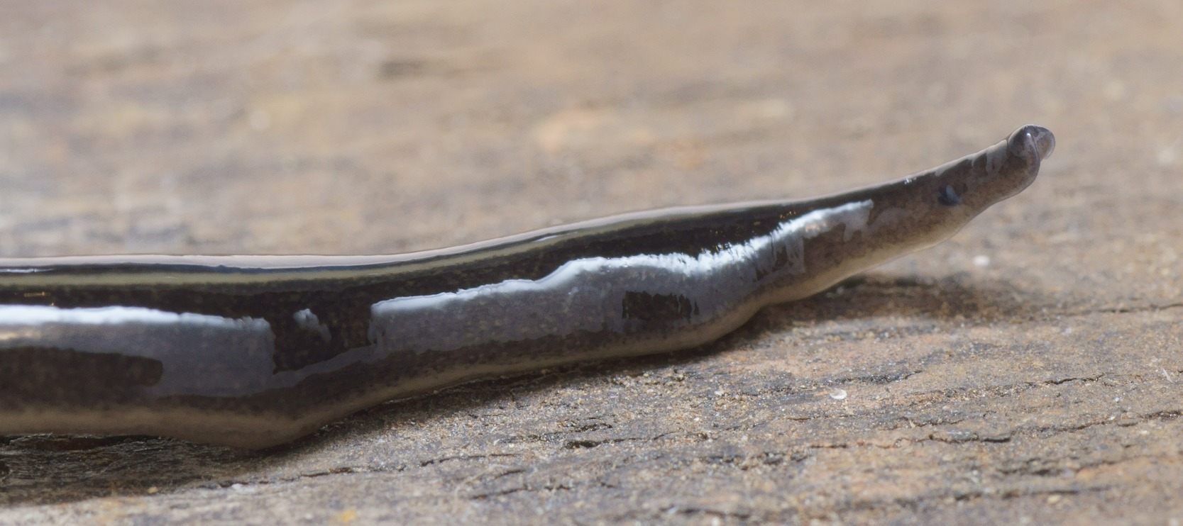 Image of New guinea flatworm