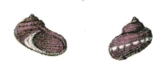 Image of <i>Pseudostomatella coccinea</i> (A. Adams 1850)