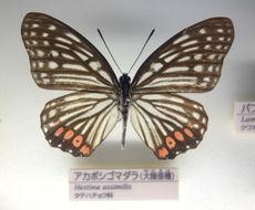 Image of <i>Hestina assimilis</i> Linnaeus 1758