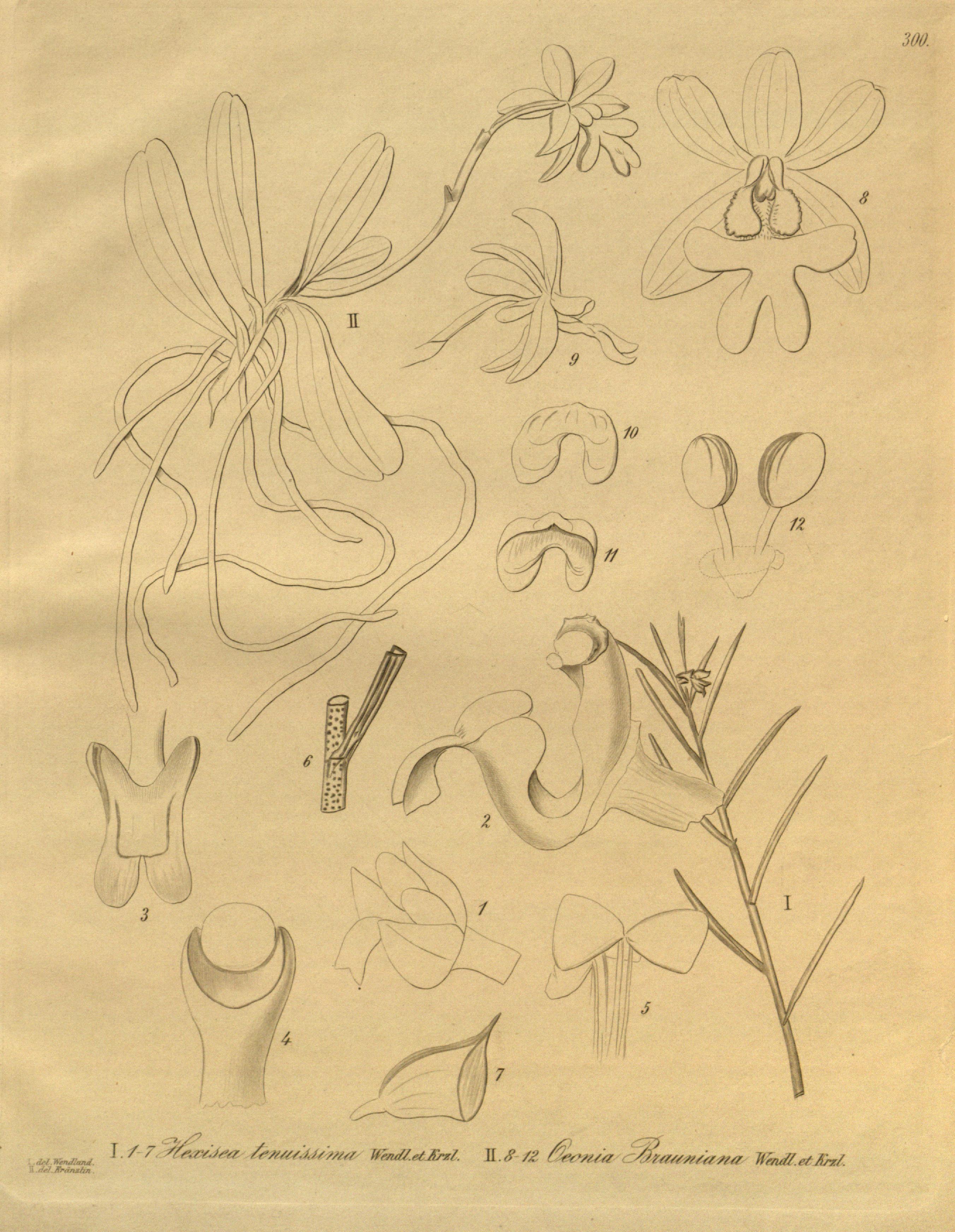 Image of Oeonia