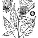 Image of halberdleaf rosemallow