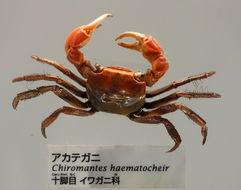 Image of <i>Chiromantes haematocheir</i> (De Haan 1833)