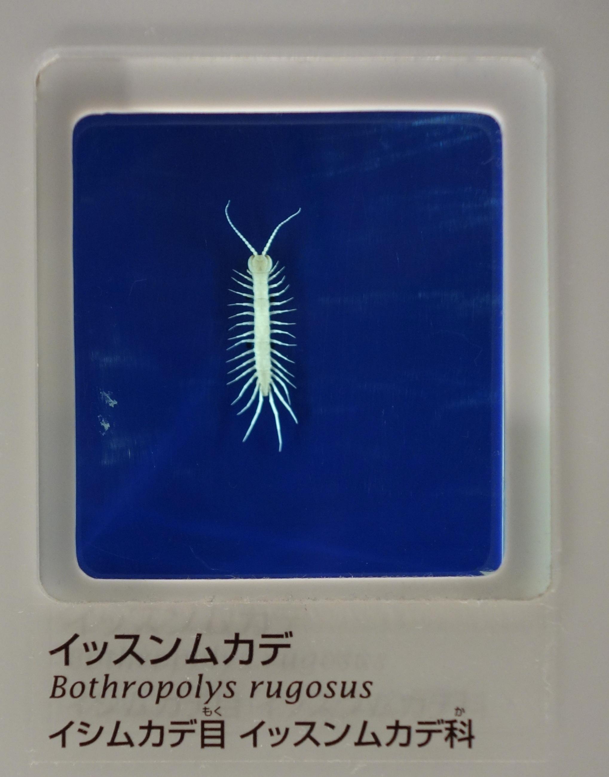Image of Lithobiidae