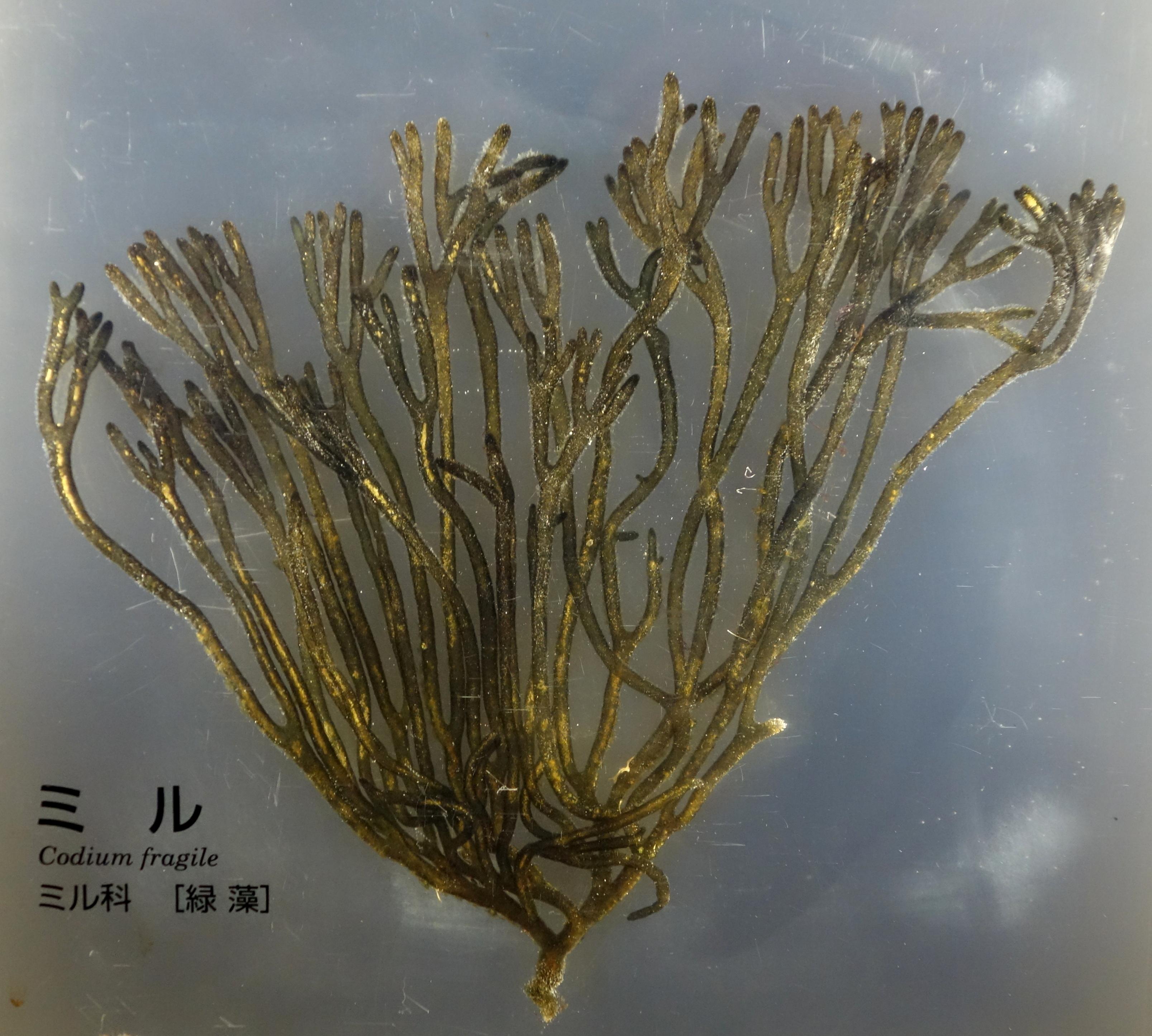 Image of <i>Codium fragile</i>
