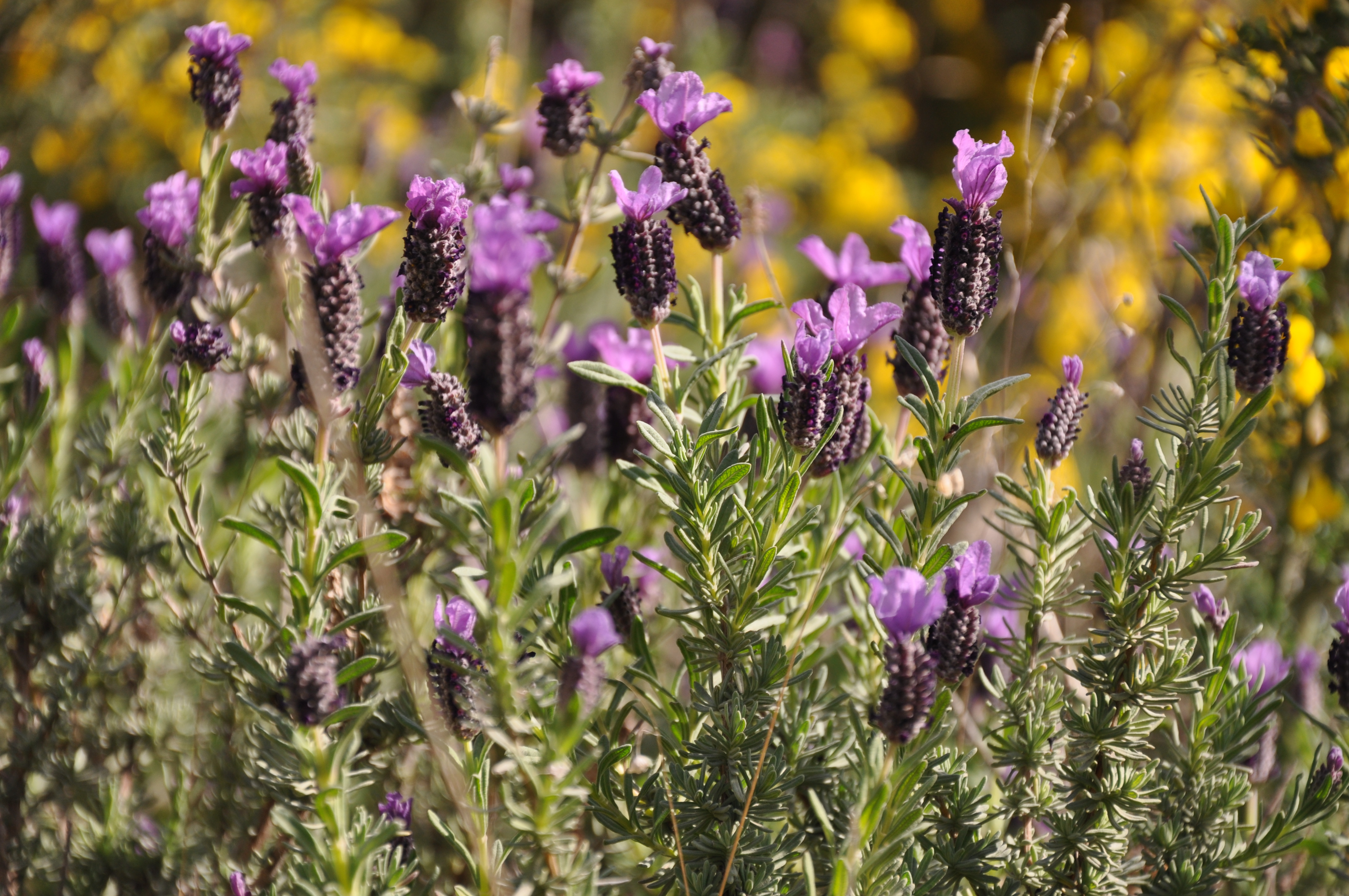 Image of French lavender