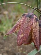 Image of <i>Fritillaria pyrenaica</i> L.