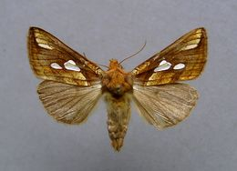 Image of gold spot moth