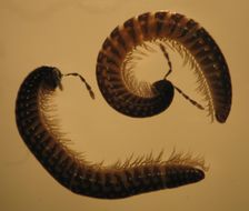 Image of Stemmiulidae