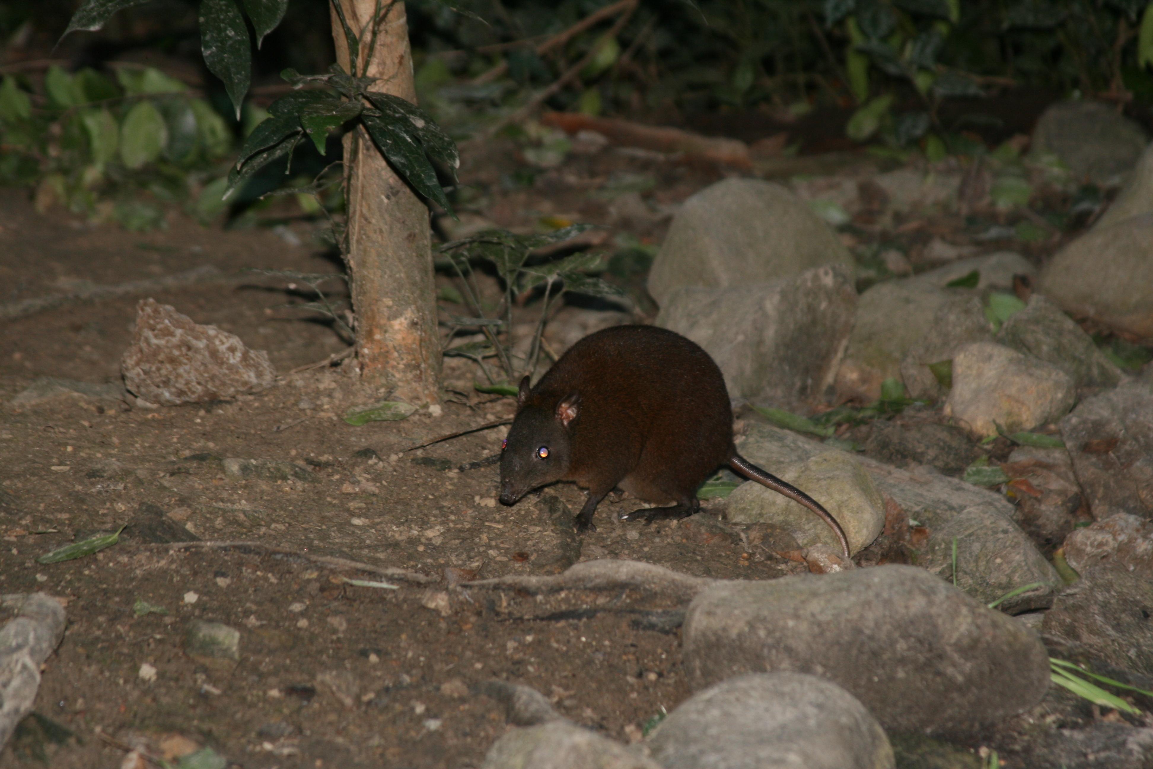 Image of Musky Rat-kangaroo