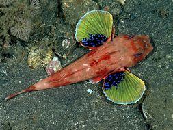 Image of Redbanded searobin