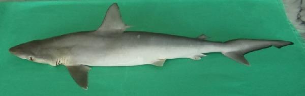 Image of Fish-shark