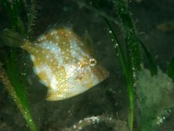 Image of White-spotted pygmy filefish