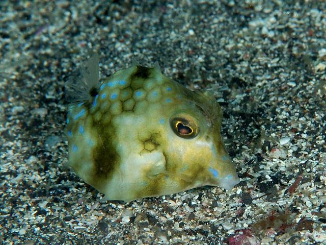 Image of Triangular boxfish