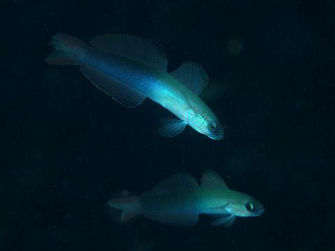 Image of blackfin dartfish