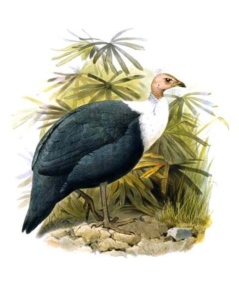 Image of White-breasted Guineafowl