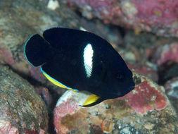 Image of Black Angelfish