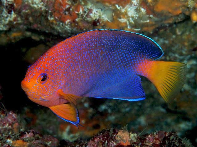 Image of Japanese Angelfish