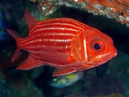 Image of North Pacific Squirrelfish