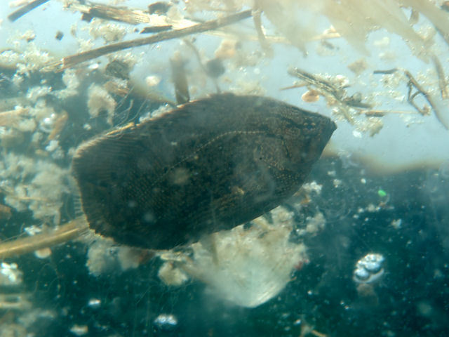 Image of Atlantic Tripletail