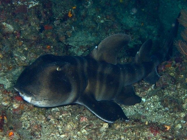 Image of Japanese Bullhead Shark