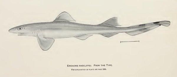 Image of <i>Eridacnis radcliffei</i> Smith 1913