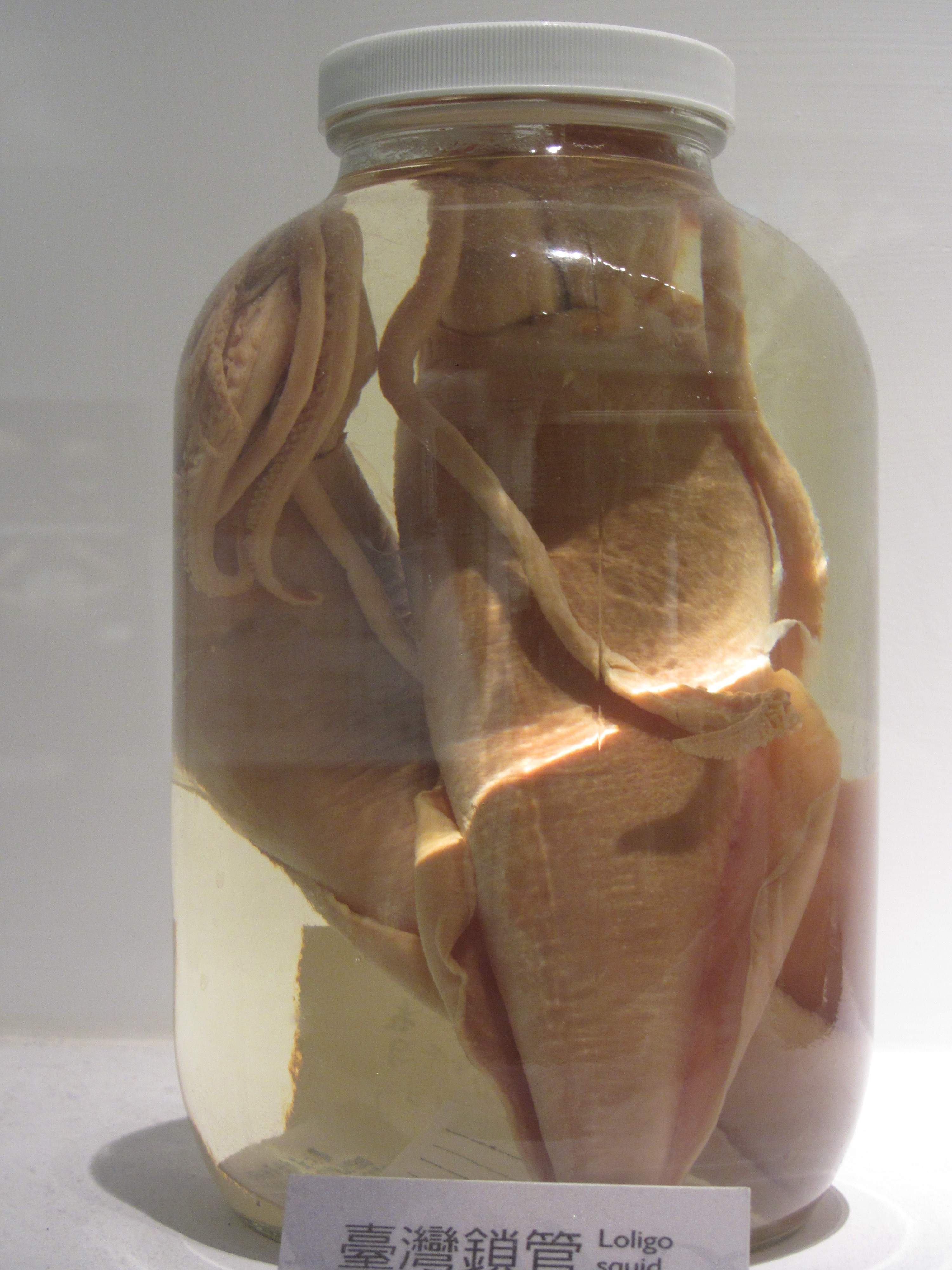 Image of Uroteuthis