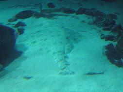 Image of Pacific Angel Shark