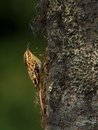 Image of Rusty-flanked Tree-Creeper